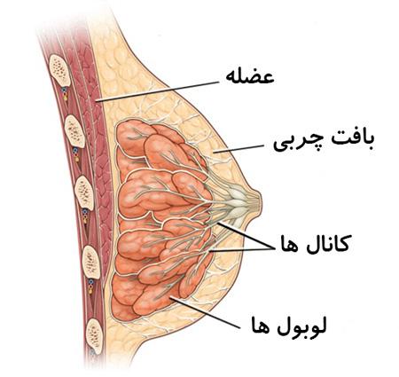 آناتومی (بخش های) پستان بانوان